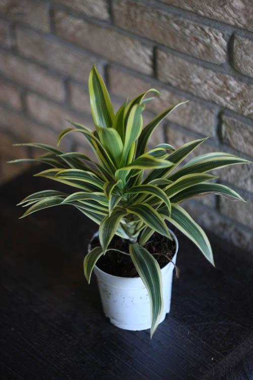 Комнатное растение с зелено красными