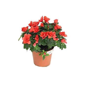 Купить живые цветы в горшке где купить воздушные шары из которых делают цветы