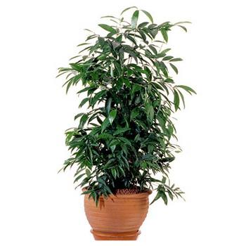 Комнатное растение драцена серкулоза