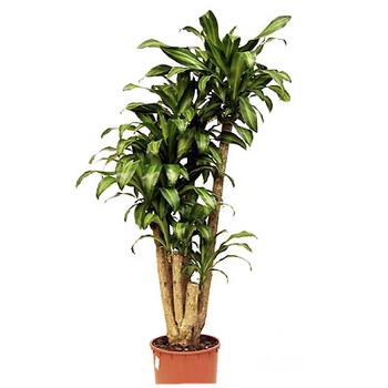 Комнатное растение драцена фрагранс