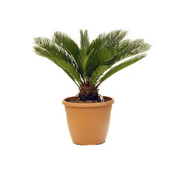 Крупное комнатное растение цикас