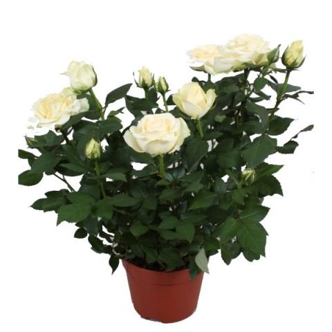 Цветы в горшках живые спб доставка цветов на дом